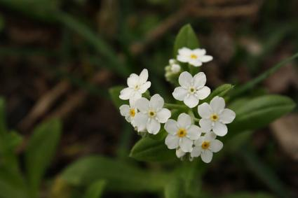 forget me not white variety