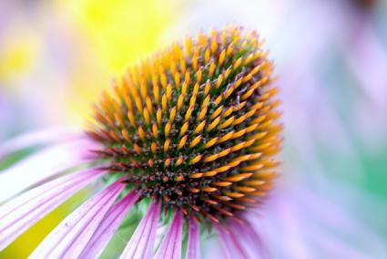 pruple coneflower