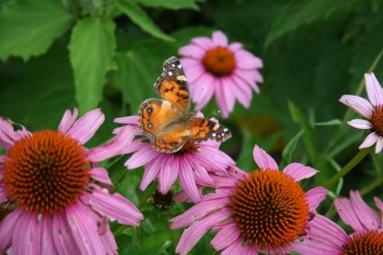 butterfly feeding on purple coneflower