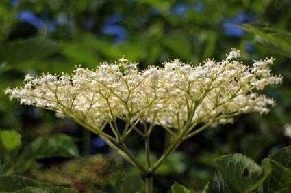 White flower of a black elderberry