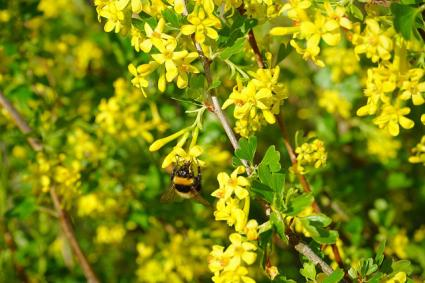 currant with yellow flowers