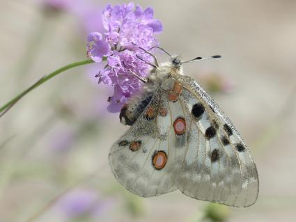 butterfly on scabious