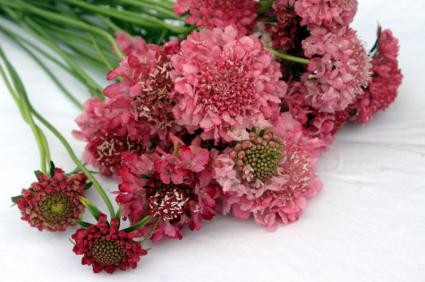 red variety of pincushion flower