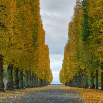 elms in fall