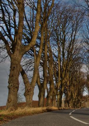 diseased elms