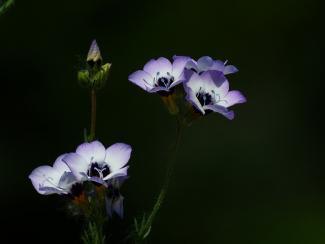 multi-colored gilia flowers