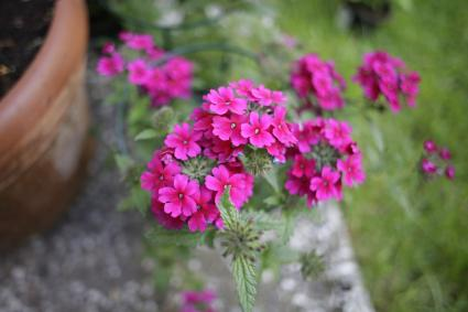 purple verbena flowers