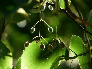 tilia seedpods