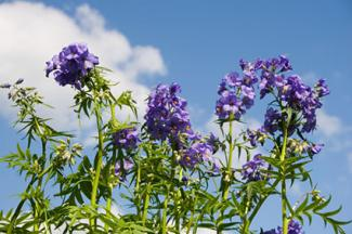 Polemonium on background of sky