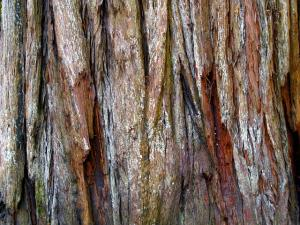 red bark of a sequoia (coast redwood)