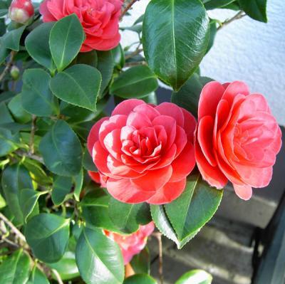 hybrid camellia