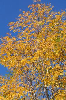 Aspen's fall foliage