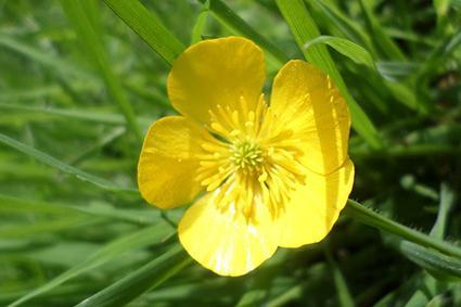 ranunculus weed
