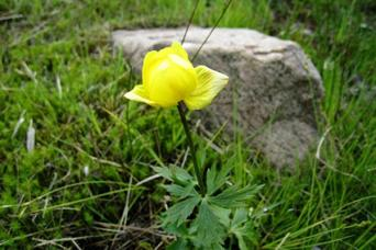 Buttercup Weed