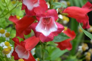 multi-colored penstemon