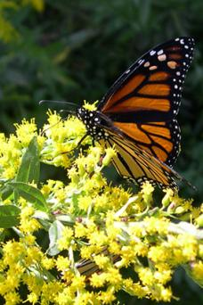 solidago butterfly plant
