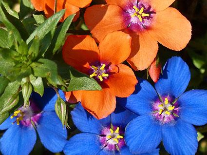 Blue and Scarlet Pimpernel