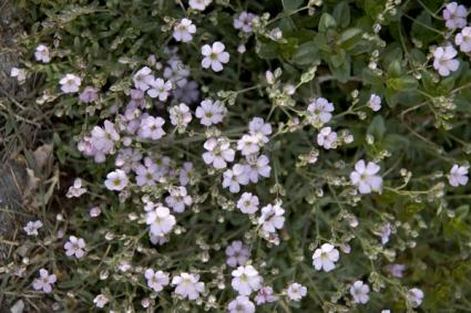 light pink baby's breath