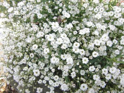 Baby S Breath Lovetoknow