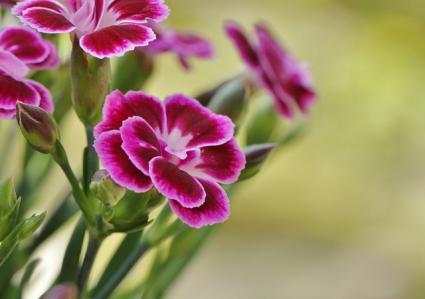magenta carnation variety