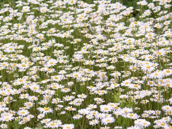 plain white English daisy