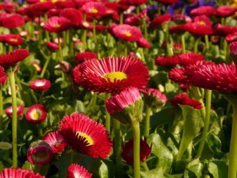daisy groundcover
