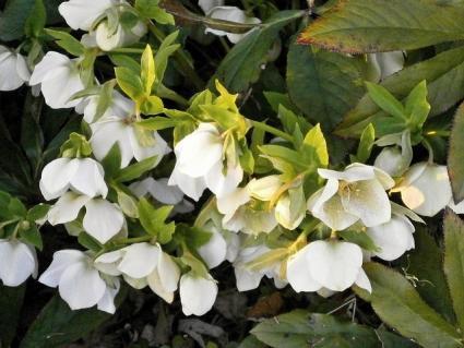 helleborus plant