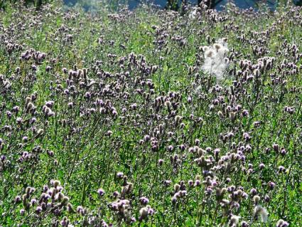 thistle field in seed