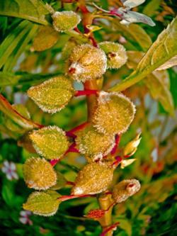 Seeds of Impatiens balsamina L, Balsam