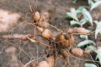 Moraceae Rhizomes