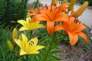lily flowers and foliage