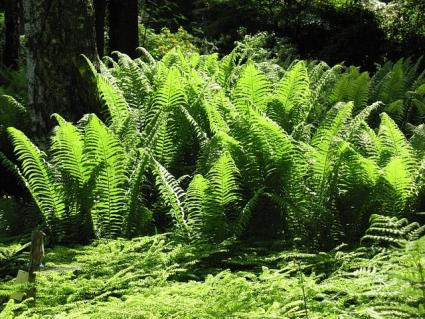 fern shade garden