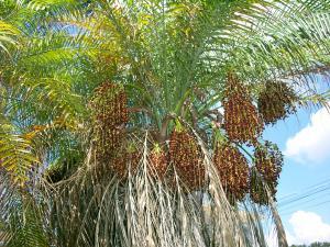 pygmy date palm fruit