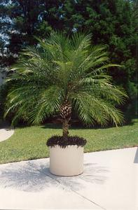 Growing In Containers And Indoors Potted Pygmy Date Palm