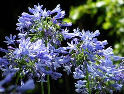 agapanthus up close
