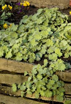 alchemilla in shady bed
