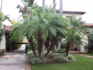 Pygmy Date Palm Used In Landscape