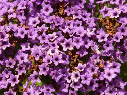 heliotrope close up