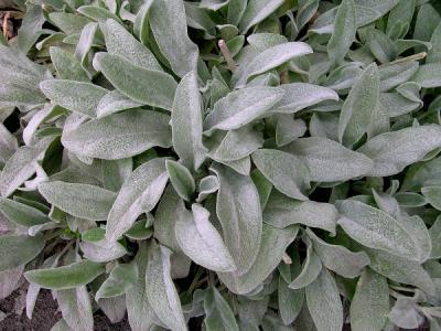 stachys grey foliage