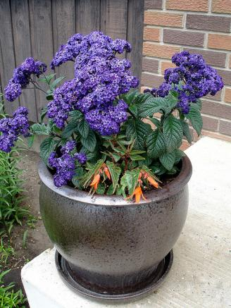 potted heliotrope