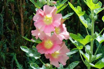 alcea blossoms