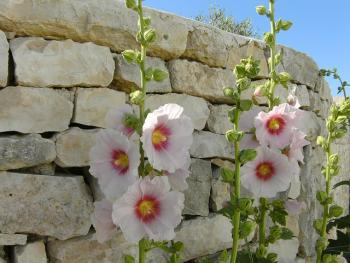 bi-colored hollyhocks