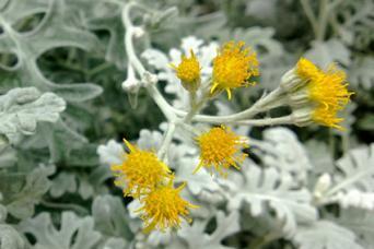 dusty miller flowers