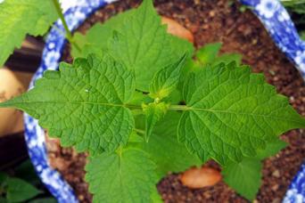 ageratum leaves