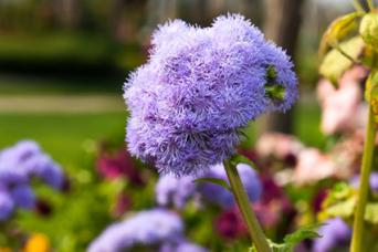 Ageratum in the garden