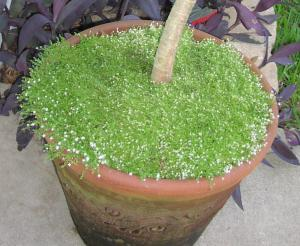 arenaria in pot