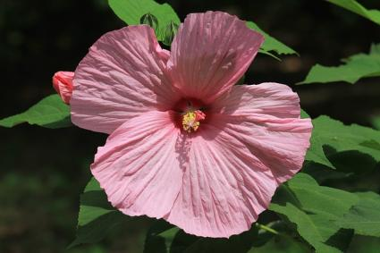 Rose Mallow | LoveToKnow