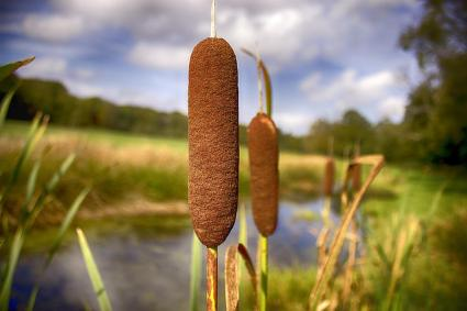 Cattails Lovetoknow