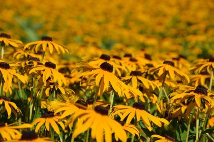Rudbeckia meadow
