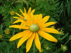 green black eyed susan